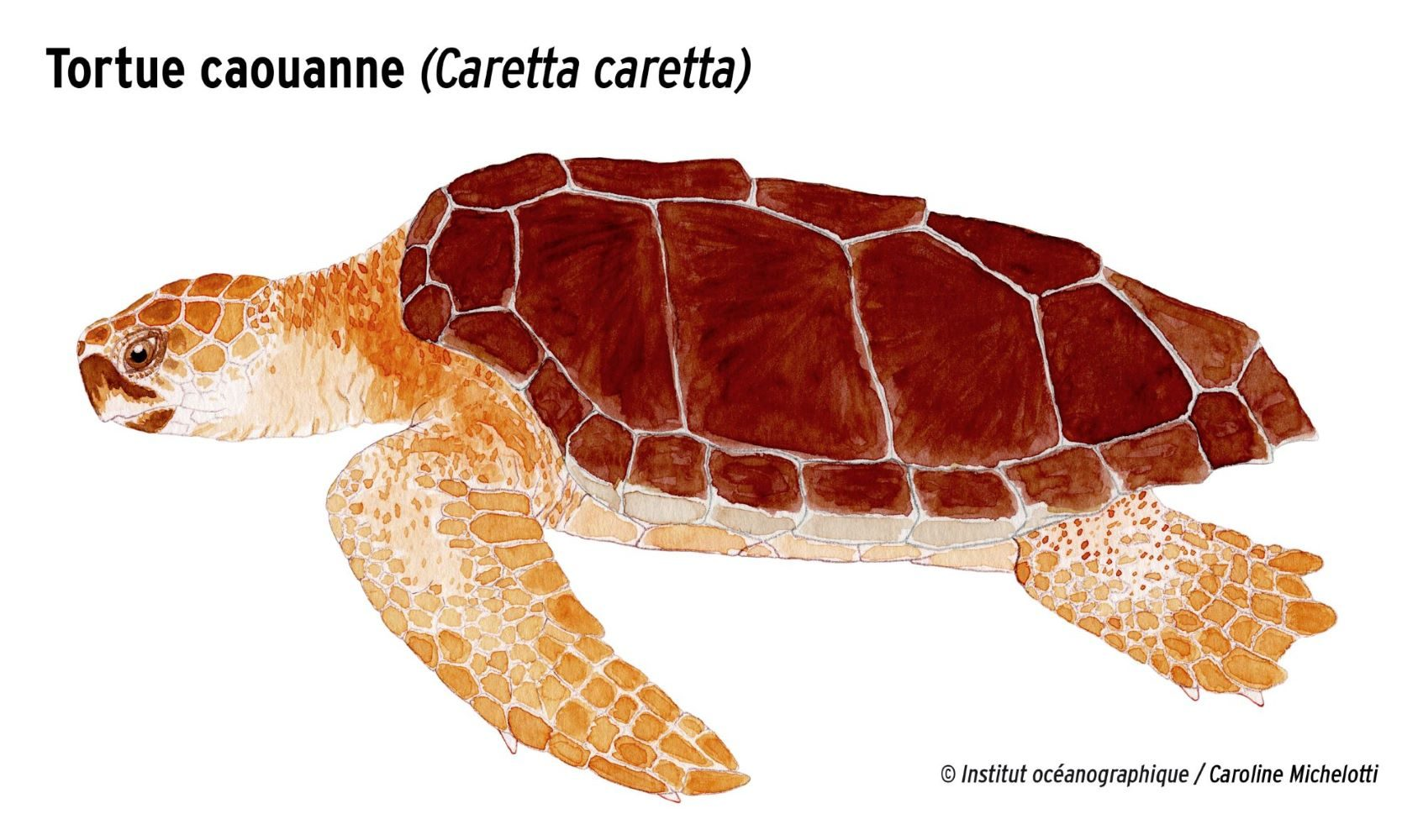 MOM - Tortue caouanne