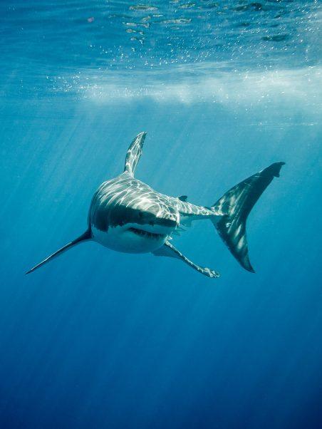 Requins Focus