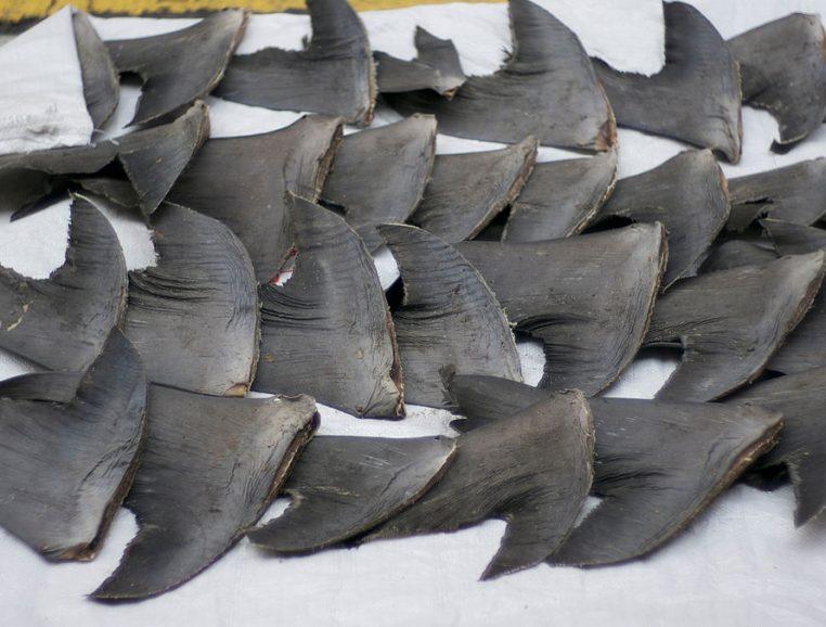 Requins Pêche