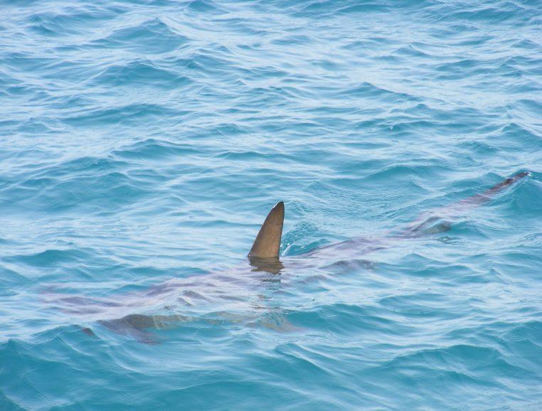 Requins Menaçants