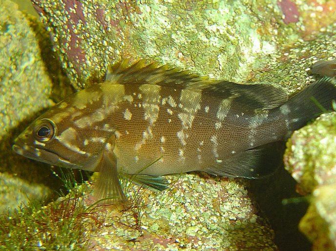 Enzo le petit mérou brun de Méditerranée relaché