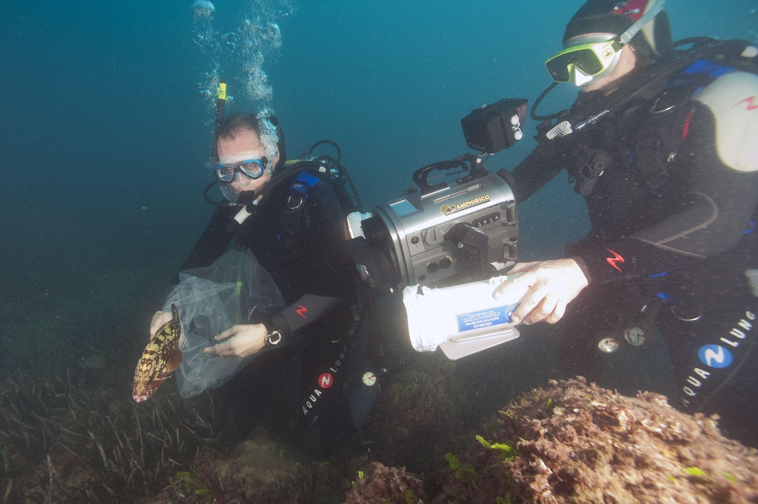 En juillet 2011, le MusŽe ocŽanographique de Monaco accueillait un tout jeune mŽrou brun (Epinephelus marginatus) capturŽ en Italie, et jusquÕalors hŽbergŽ par un particulier. Devant vider son aquarium et ne sachant que faire du mŽrou, son propriŽtaire a proposŽ de le donner ˆ notre aquarium.  Ds son arrivŽe, Enzo (du nom de son ancien propriŽtaire italien) a ŽtŽ placŽ dans un bac de 400 litres en zone dÕacclimatation pour y tre observŽ. Aux petits soins, nourri tous les deux jours de crevettes roses et dÕanchoisÉ Enzo a ŽvoluŽ ces derniers mois dans un environnement trs favorable, fait de dŽcor rocheux et de nombreuses cachettes pour se rŽfugier.  Enzo remis ˆ lÕeau dans la rŽserve sous-marine du Larvotto AujourdÕhui, Enzo mesure environ 30 cm, cÕest une femelle et lՎquipe des soigneurs estime son ‰ge ˆ 4/ 5 ans. LÕheure est venue pour elle de retrouver son milieu naturel et la rŽserve du Larvotto est pour cela un endroit idŽal. Cette zone riche en abris et cachettes lui offrira de la nourriture en abondance et elle y rejoindra une population de mŽrous dŽjˆ bien prŽsente, comme le montrent les comptages rŽguliers rŽalisŽs par lÕassociation franaise GEM - Groupe dÕEtudes du MŽrou.  Cette opŽration est rŽalisŽe en partenariat avecÊ: la Direction de lÕEnvironnement du Gouvernement Princier, lÕAssociation MonŽgasque pour la Protection de la Nature AMPN, ainsi quÕavec le concours des Affaires Maritimes et de la Police Maritime de Monaco. Le retour ˆ la mer de Enzo sera lÕoccasion de faire le point sur les actions mises en Ïuvre en PrincipautŽ pour la sauvegarde de cette espce protŽgŽe aujourdÕhui de nouveau prŽsente en nombre sur nos c™tes, gr‰ce ˆ la mobilisation gŽnŽrale.  Une rŽserve sous-marine en milieu urbain ˆ Monaco La rŽserve sous-marine du Larvotto a ŽtŽ amŽnagŽe en 1976 ˆ l'initiative de S.A.S le Prince Rainier III de Monaco. De forme trapŽzo•dale, elle occupe 50 ha environ et s'Žtage jusquՈ 40 m de profondeur. Un remarquable herbier de Posidonie (Posi