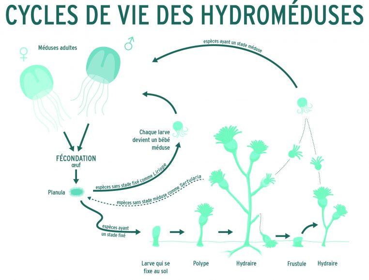 Cycle de reproduction - hydroméduse
