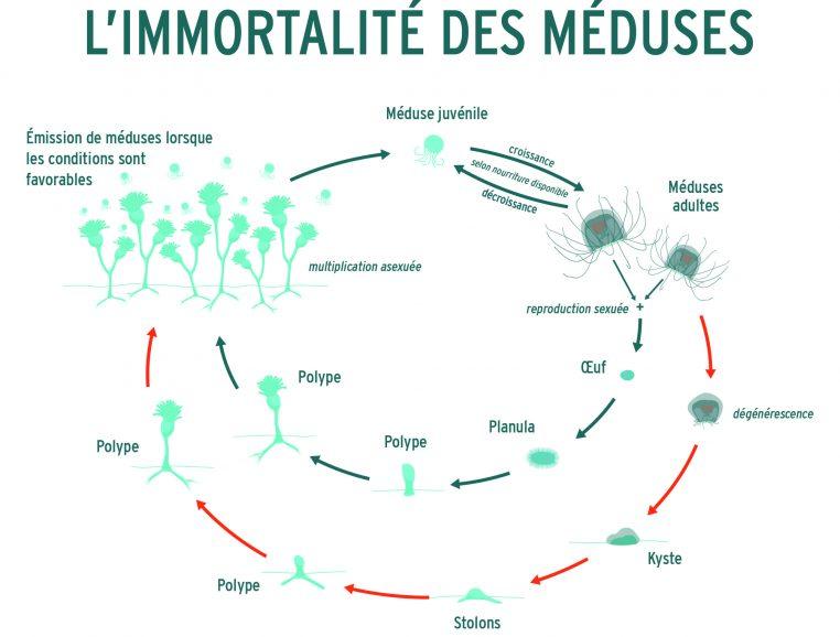 Immortalité des méduses