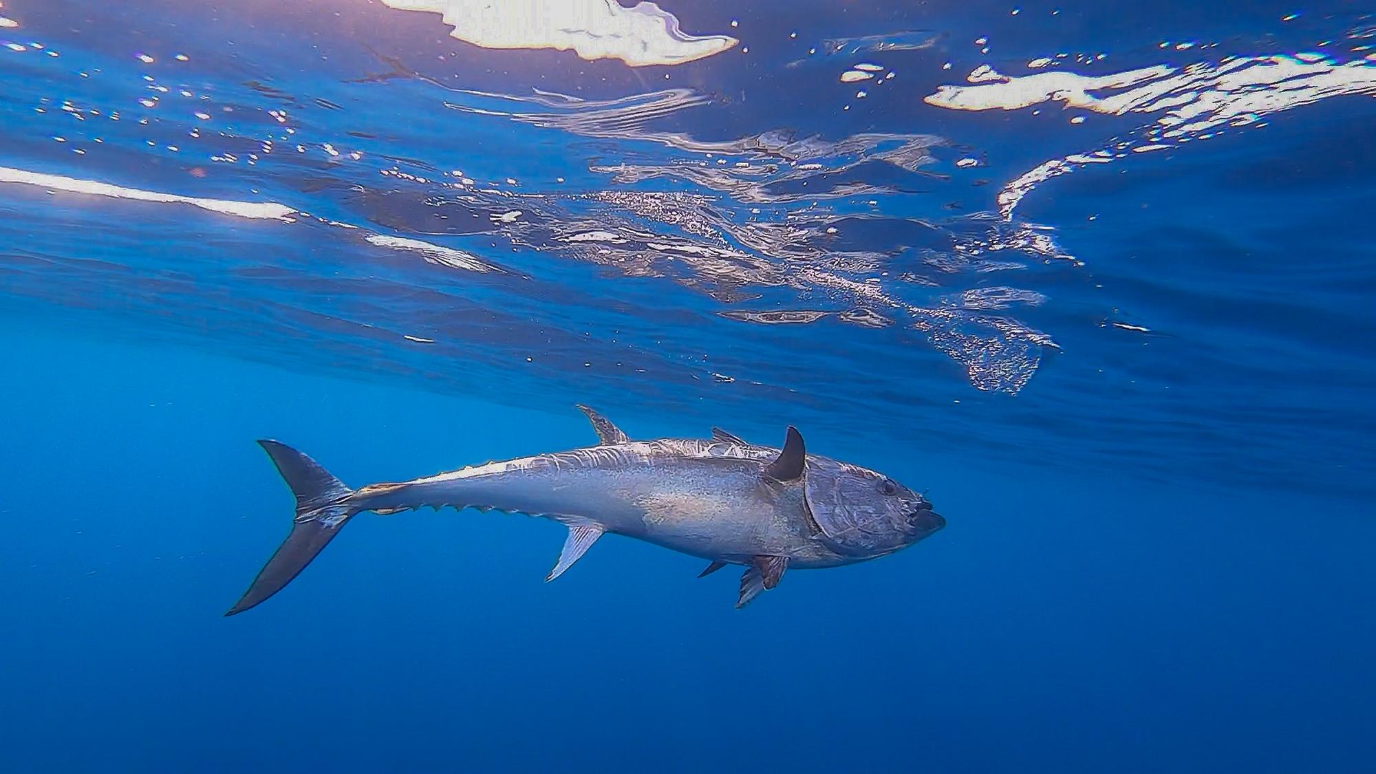 4. Quelle est l'importance économique du thon ?