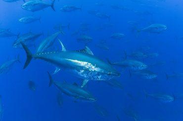 Le thon rouge de Méditerranée