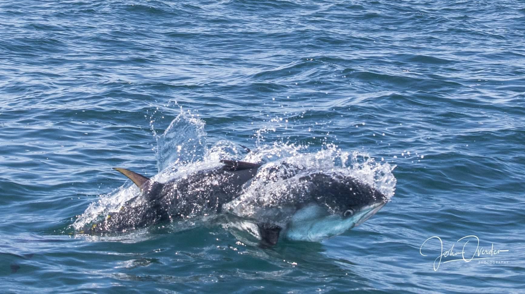 Le thon rouge est de plus en plus observé au large des îles britanniques comme ici dans la Manche © John Ovenden, photographer
