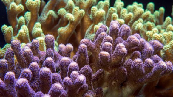 corail iucn gfcr